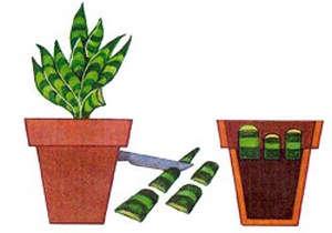 Как выращивать тещин язык в домашних условиях?