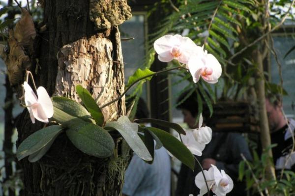 Орхидея Фаленопсис в дикой природе