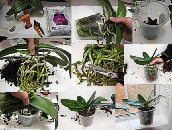 Пошаговая инструкция по пересадке орхидеи Фаленопсис