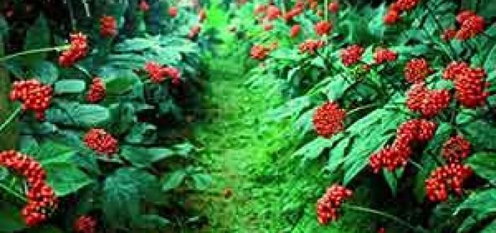 Выращивание женьшеня на участке