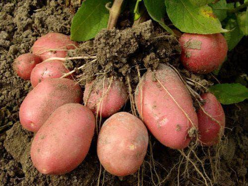 Для чего нужны сидераты под картошку: какие подходят и как выбрать