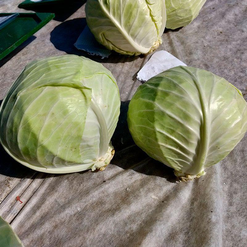 Лучшие голландские сорта и гибриды белокочанной капусты
