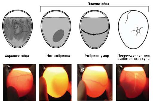 Как отобрать яйца и нужно ли их мыть перед инкубацией