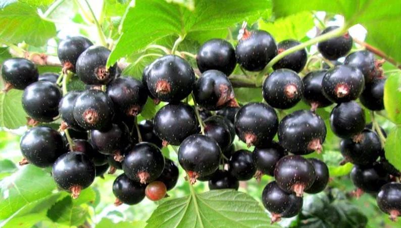 10 сортов смородины черной, крупноплодной и сладкой
