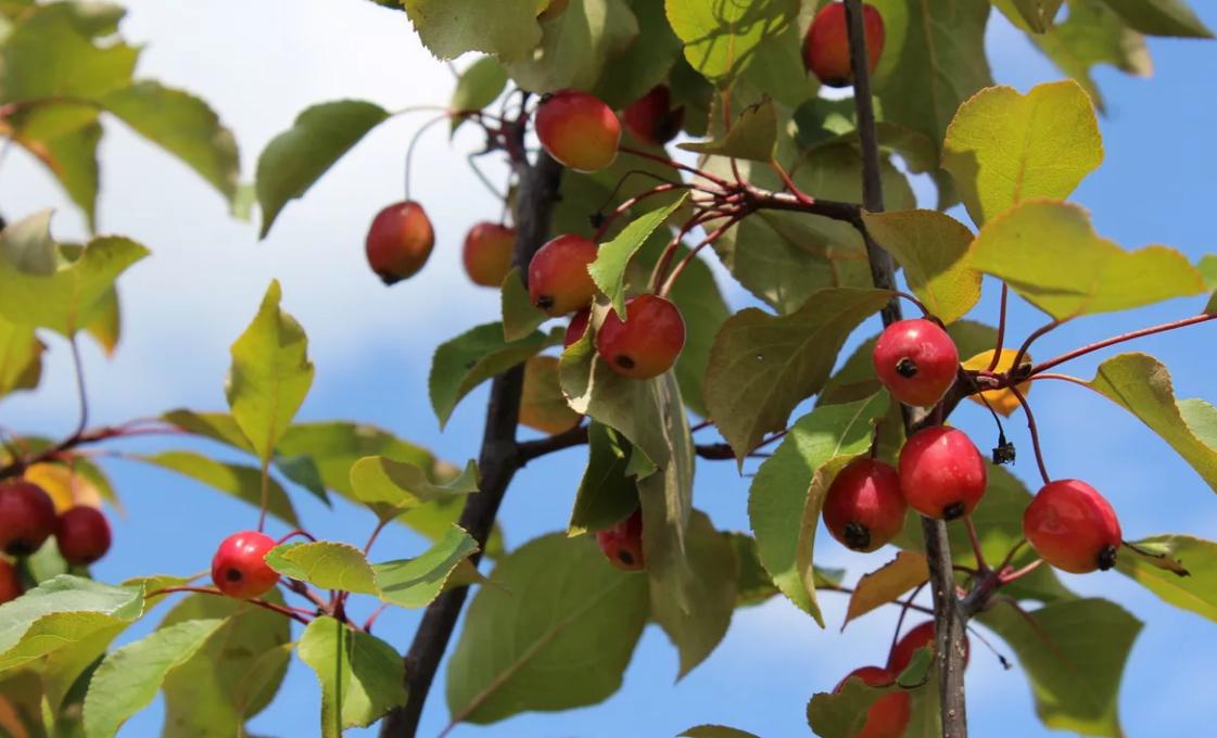 Яблоня Рудольф — описание сорта с фото